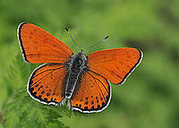 Lycaena thersamon.jpg