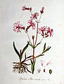 Lychnis flos-cuculi — Flora Batava — Volume v1.jpg