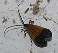 Lycidae P1220644a.jpg
