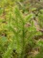 Lycopodium clavatum clavatum1.jpg