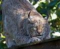 Lynx 5 (8148821277).jpg