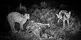 Lynx rufus vs. Canis latrans (cropped).jpg