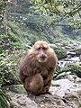 Macaca thibetana Emei Shan2.jpg