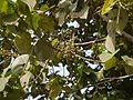 Macaranga ¿ peltata - indica ? (5600699456).jpg