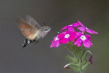 insecte butineur volant vers une fleur mellifère