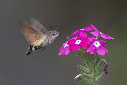 Esfinge Colibrí (Macroglossum Stellatarum). Animales - Insectos - de La comunidad Valenciana