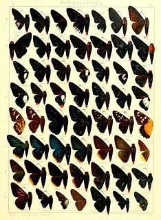 <i>Passova</i> genus of insects
