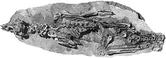 Crested penguin - Madrynornis fossil