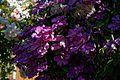 Magenta clematis at Boreham, Essex, England 2 darker render.jpg