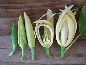 Tepal - Image: Magnolia x alba bud comparison