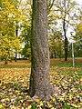 Magnolia acuminata trunk.JPG