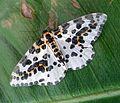 Magpie - Abraxas grossulariata. - Flickr - gailhampshire.jpg