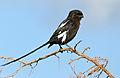 Magpie Shrike (Corvinella melanoleuca) (16724478495).jpg