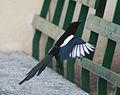 Magpie in Madrid (Spain) 40.jpg