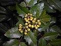 Mahonia aquifolium 2016-04-19 8164.jpg