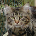 Mainecoon2.png