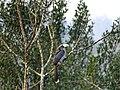 Malabar Grey Hornbill - Mugilu Homestay.jpg