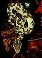 Malabar Pit Viper by Raju Kasambe DSCN0873 (5).jpg