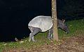 Malayan Tapir (Tapirus indicus) (8729166864).jpg