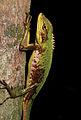Male Bronchocela marmorata (KU 330106) from Mt. Cagua - ZooKeys-266-001-g043.jpg