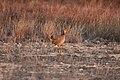 Male Lesser Prairie Chicken, Yoakum County by Trisha Williams (24489874623).jpg