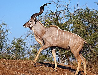 Greater kudu species of woodland antelope