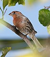 Male house finch carpodacus mexicanus.jpg