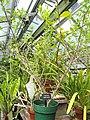 Malpighia emarginata - Wellesley College - DSC09764.JPG