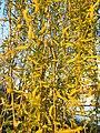 Malpighiales - Salix babylonica - 8.jpg