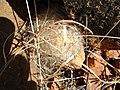 Mammillaria guelzowiana (5729394309).jpg