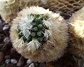 Mammillariacarmenae.jpg