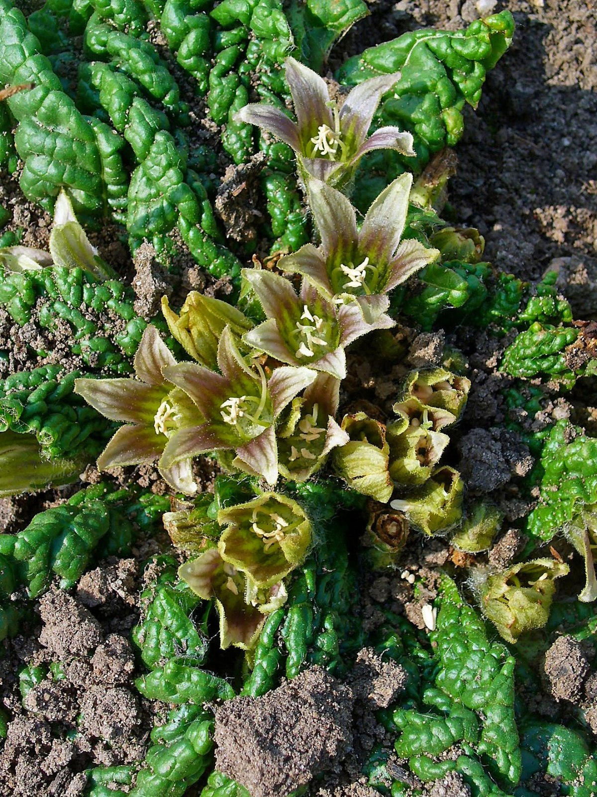 Mandragora Officinarum Wikipedia