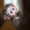 Mangabey baby (4323747918) (2).jpg