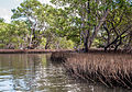 Mangroves in La Restinga Lagoon.jpg
