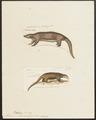 Manis pentadactyla - 1700-1880 - Print - Iconographia Zoologica - Special Collections University of Amsterdam - UBA01 IZ21000017.tif