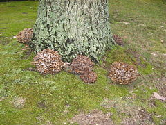 Many Grifola frondosa at the base of an oak tree.jpg