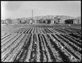 Manzanar Relocation Center, Manzanar, California. Evacuees of Japanese ancestry are growing flouris . . . - NARA - 537971.tif
