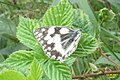 Marbled white (Štěp) (37277956924).jpg