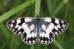 240px marbled white (melanargia galathea) male