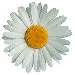 Marguerite 1.jpg