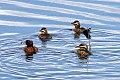 Masked Duck (Nomonyx dominicus) (8077696479).jpg