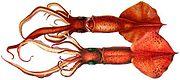 Mastigoteuthis flammea,a species of whip-lash squid