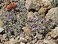 Mat milkvetch, Astragalus kentrophyta var. tegetarius (17770797880).jpg