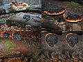 Mature Fomitopsis pinicola (Red Belt Conk or Red-belted Bracket, D= Rotrandiger Baumschwamm, F= polypore marginé, NL= Roodgerande houtzwam), yellow spores and causes brown rot, at Zijpendaal Arnhem. A bit dark because - panoramio.jpg