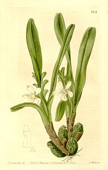 Maxillaria lutescens (Camaridium l.) - The Bot. Register v. 10 (1824) pl 844.jpg