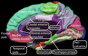 Orbitofrontal cortex - Image: Medial surface of cerebral cortex gyri