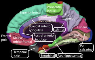 Anterior cingulate cortex - Image: Medial surface of cerebral cortex gyri