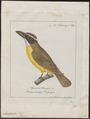 Megarhynchus pitangua - 1700-1880 - Print - Iconographia Zoologica - Special Collections University of Amsterdam - UBA01 IZ16500321.tif