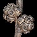 Melaleuca teretifolia - Flickr - Kevin Thiele.jpg