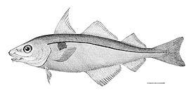 Melanogrammus aeglefinus.jpg